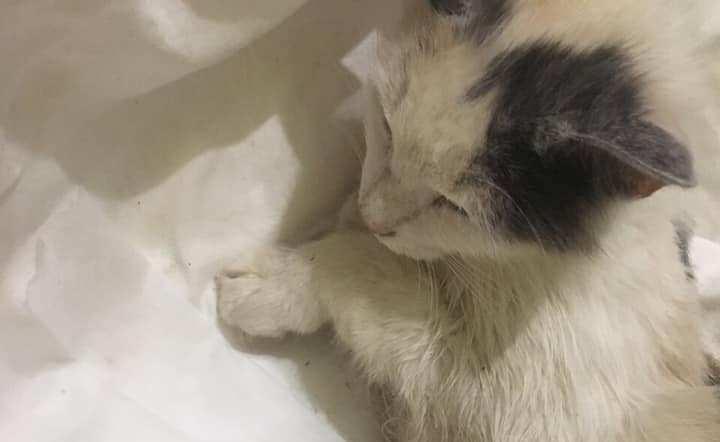 У Виноградові нелюд ґвалтував кішку. Навіть ветеринар без сліз не міг дивитись на замордовану тварину